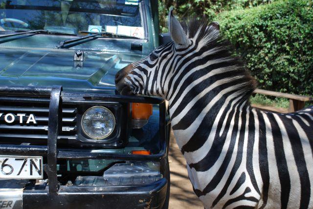 Zdjęcia: SAFARI, Masai Mara, Zaprzyjaźniona zebra, KENIA