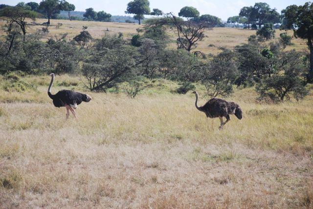 Zdjęcia: SAFARI, Masai Mara, STRUSIE, KENIA