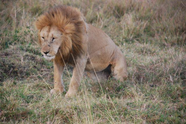 Zdjęcia: SAFARI, Masai Mara, Stary i zmęczony, KENIA