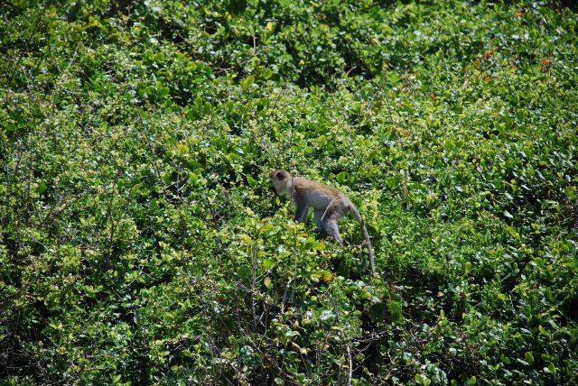Zdjęcia: Wbrzeże, Wybrzeże, Małpka, KENIA