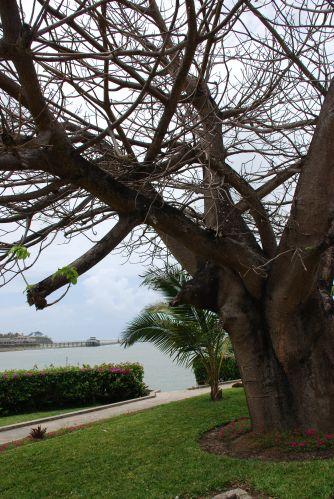 Zdjęcia: Wbrzeże, Mombasa, Baobab, KENIA