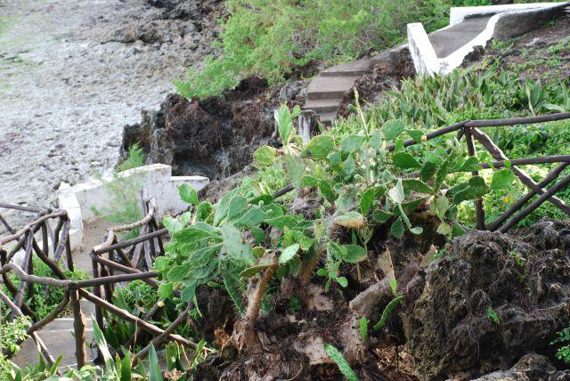 Zdjęcia: Teren przy hotelu Shanzu Palm i Coral Beach, Wybrzeże, Roslinność 2, KENIA