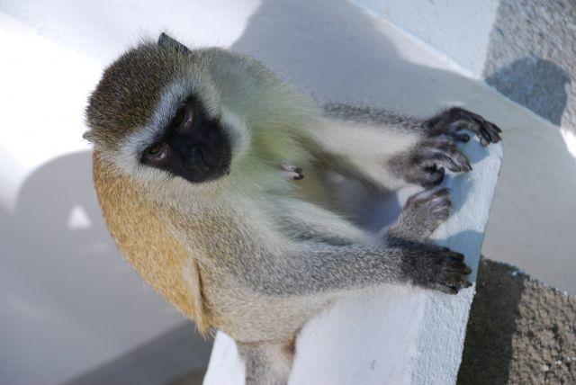 Zdjęcia: Coral Palm Beach, Wybrzeże, Małpka, KENIA