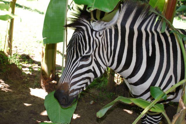 Zdjęcia: SAFARI, Masai Mara , Zebra, KENIA