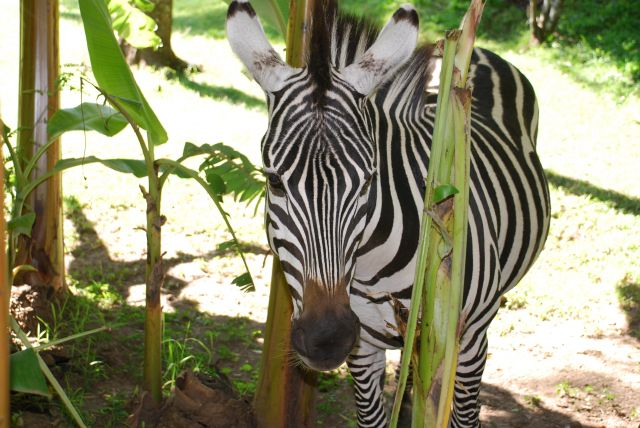 Zdjęcia: SAFARI, Masai Mara, Zebra 2, KENIA