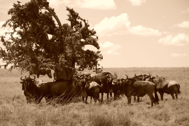 Zdjęcia: SAFARI, Masai Mara, SAFARI, KENIA