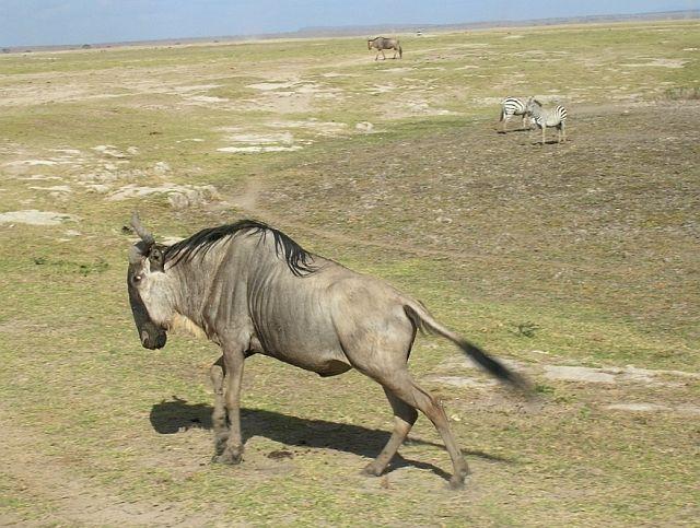 Zdjęcia: P.N. Amboseli, afrykańskie portrety 1, KENIA