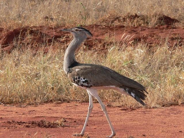 Zdj�cia: Taita Hills, Tsavo East National Park, Drop olbrzymi, KENIA