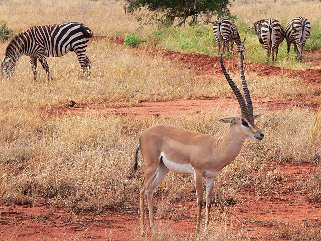 Zdjęcia: Tsavo East National Park, Kenia wschodnia, Impala, KENIA