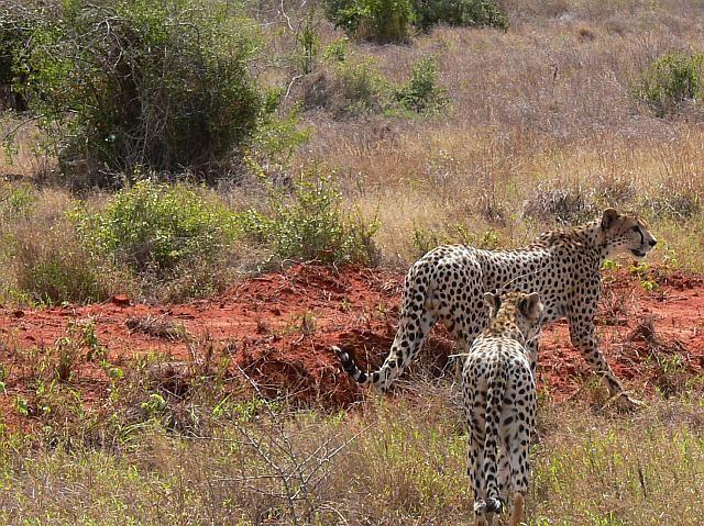 Zdj�cia: Tsavo East National Park, Kenia wschodnia, Gepardy, KENIA