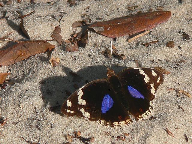 Zdjęcia: Arabuko Sokoke Forest, Kenia wschodnia, Motyl, KENIA