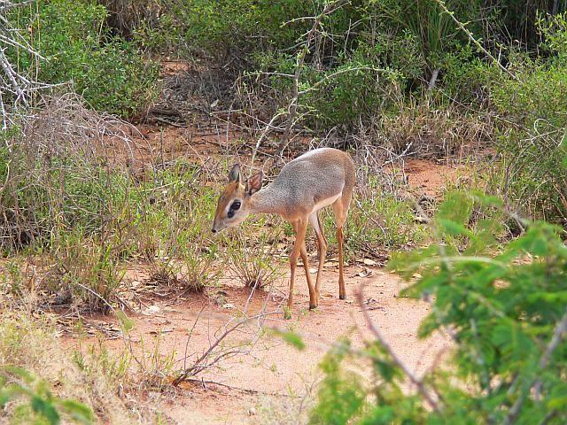 Zdjęcia: Tsavo East National Park, Kenia wschodnia, Dikdik, KENIA
