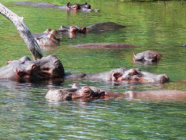 Zdjęcia: Mzima Springs, Kenia wschodnia, Hipopotamy, KENIA
