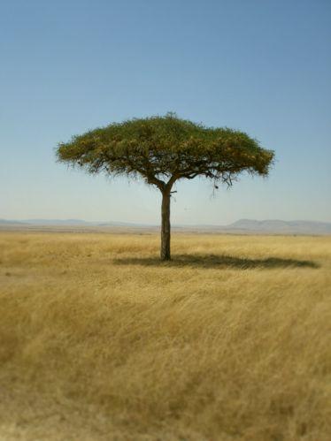 Zdj�cia: Park Massai Mara, Massai Mara, Drzewo Parasolowe, KENIA