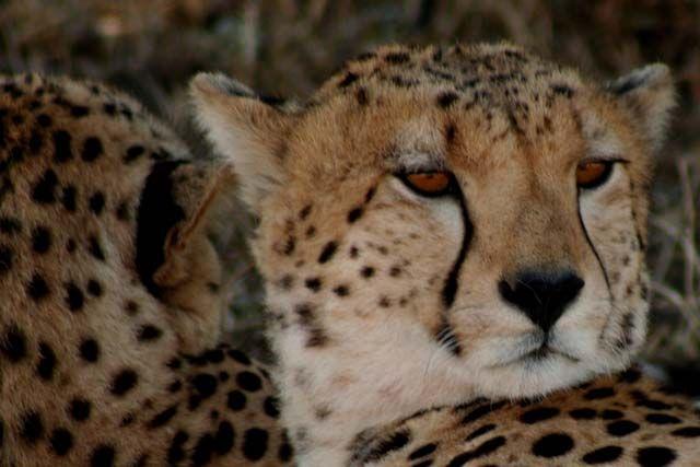 Zdjęcia: Masai Mara, Masai Mara, zawsze czujny, KENIA