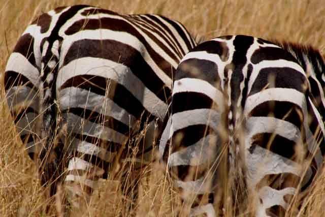 Zdjęcia: Masai Mara, Masai Mara, sorry, że tyłem !, KENIA