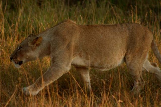 Zdjęcia: Masai Mara, Masai Mara, skradam się ..., KENIA