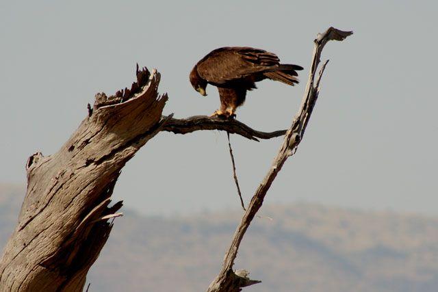 Zdjęcia: Masai Mara, Masai Mara, danie z węża., KENIA