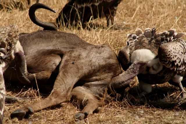 Zdjęcia: Masai Mara, Masai Mara, sępi świat, KENIA