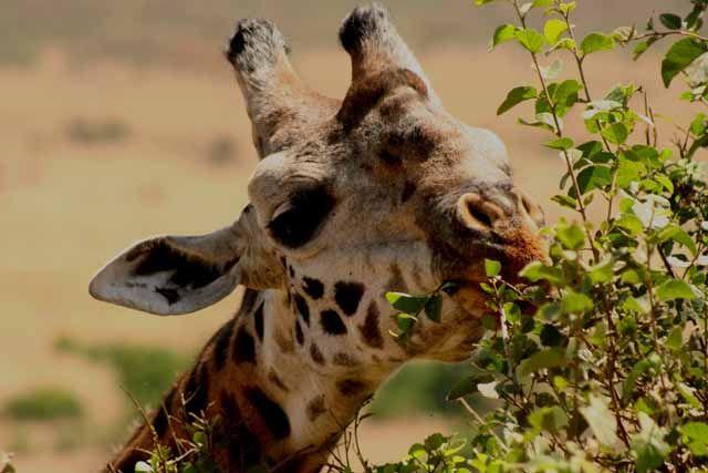 Zdjęcia: Masai Mara, Masai Mara, wegetarianka, KENIA