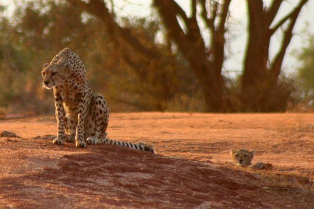 Zdjęcia: Tsavo, Rodzina Gepardów, KENIA