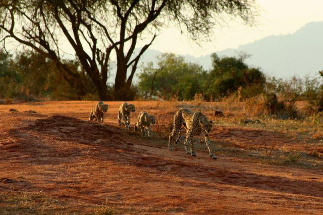 Zdjęcia: Tsavo, Rodzina Gepardów II, KENIA