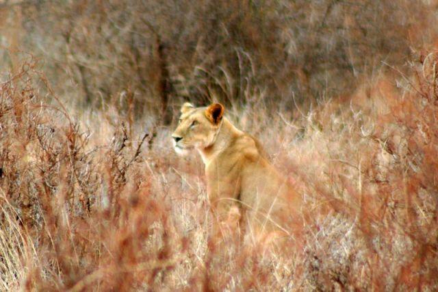 Zdjęcia: Tsavo, Lwica, KENIA