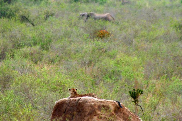 Zdjęcia: Tsavo, Lampart, KENIA