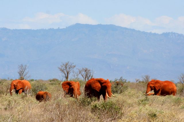 Zdj�cia: Kenia, Czerwone S�onie, KENIA