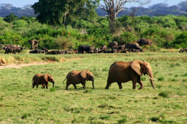 Zdjęcia: Kenia, W drodze do wodopoju, KENIA