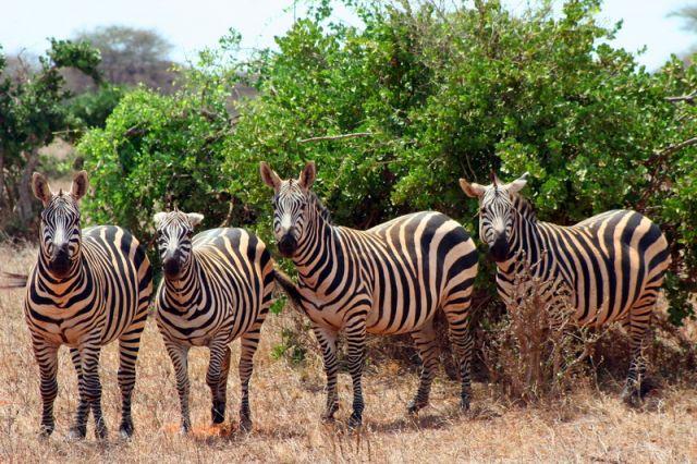 Zdjęcia: Kenia, Zebry, KENIA