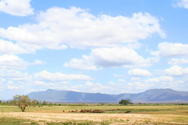 Zdj�cia: Kenia, Bawoly przy wodopoju, KENIA
