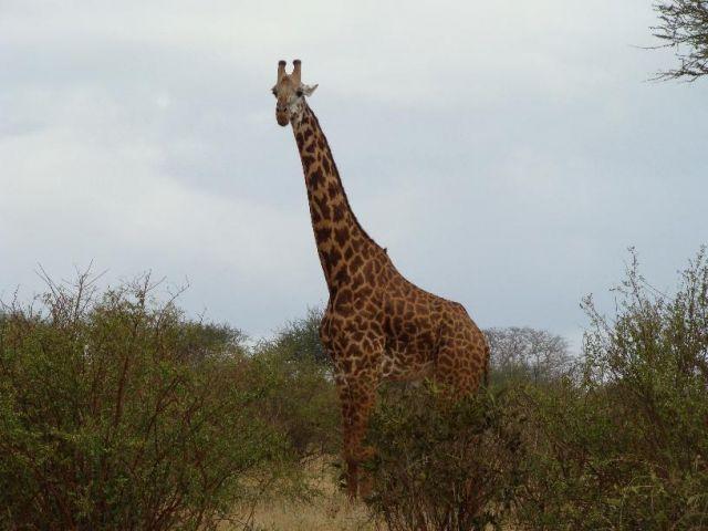 Zdjęcia: Tsavo East, Tsavo, 4 metry mięśni, KENIA