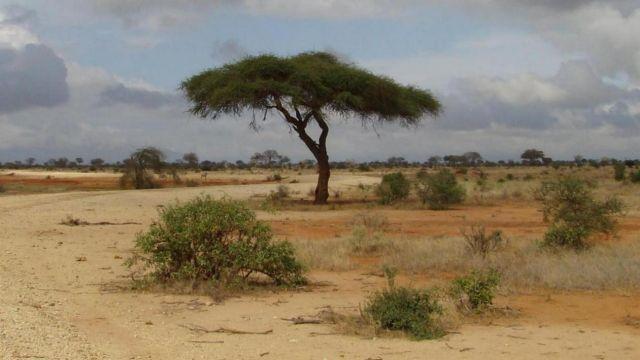 Zdjęcia: Tsavo East, Tsavo, drzewo, KENIA
