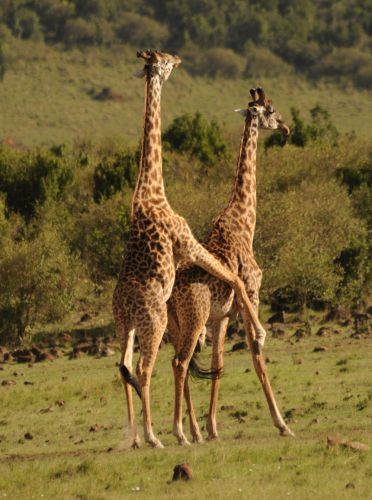 Zdj�cia: sawanna, Masai Mara, �yrafy , KENIA