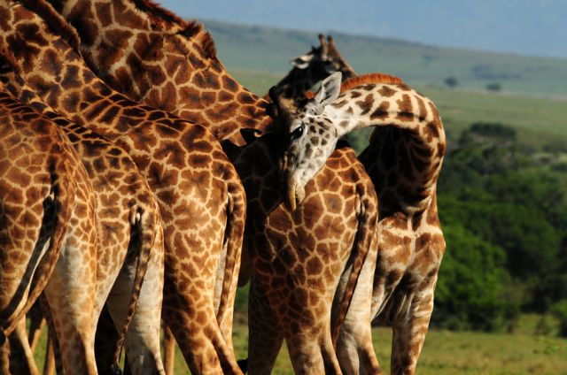 Zdjęcia: sawanna, Masai Mara, żyrafy , KENIA