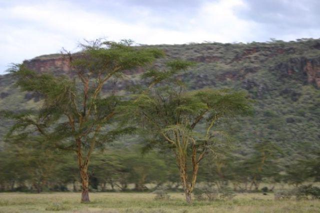 Zdjęcia: park, Park Nakuru, Akacje w parku Nakuru, KENIA