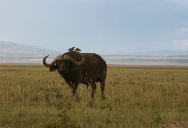 Zdjęcia: park, Park Nakuru, Symbioza, KENIA