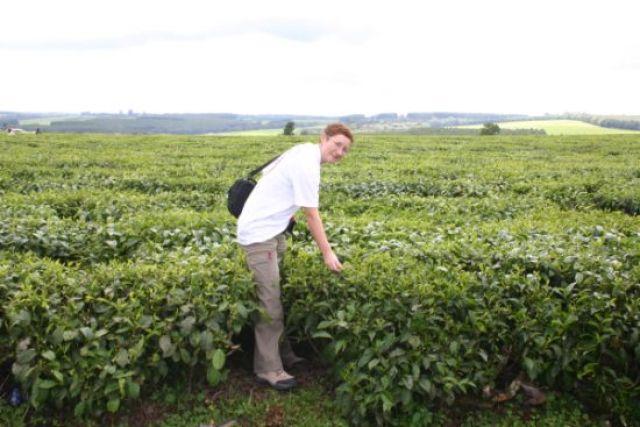 Zdjęcia: Kisumu, Kisumu, Zbiory herbaty, KENIA