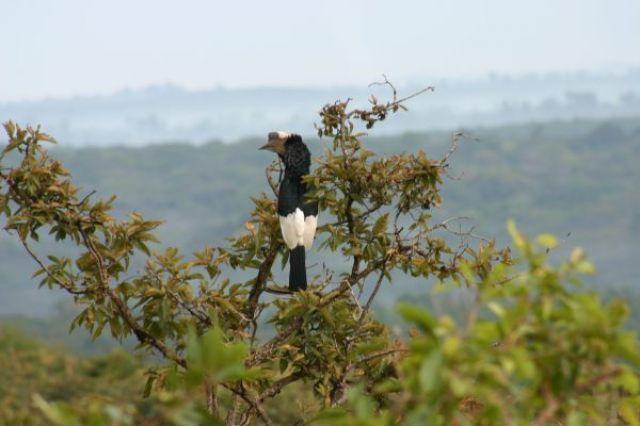 Zdjęcia: Kakamega - las deszczowy, Kakamega, Tukan, KENIA