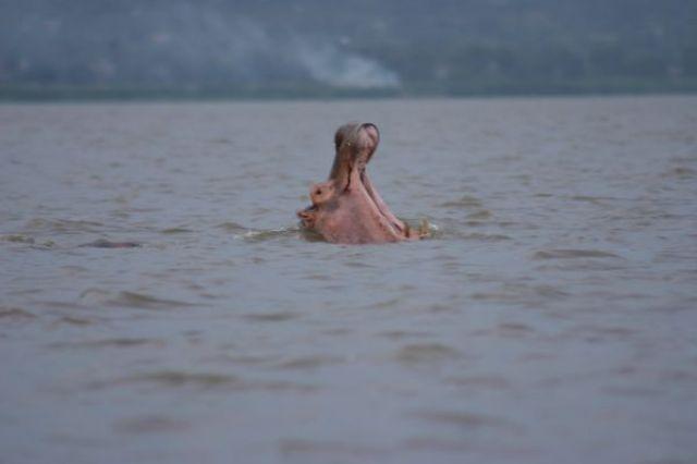 Zdjęcia: Jezioro Wictoria, Jezioro Wictoria, Hipcie, KENIA