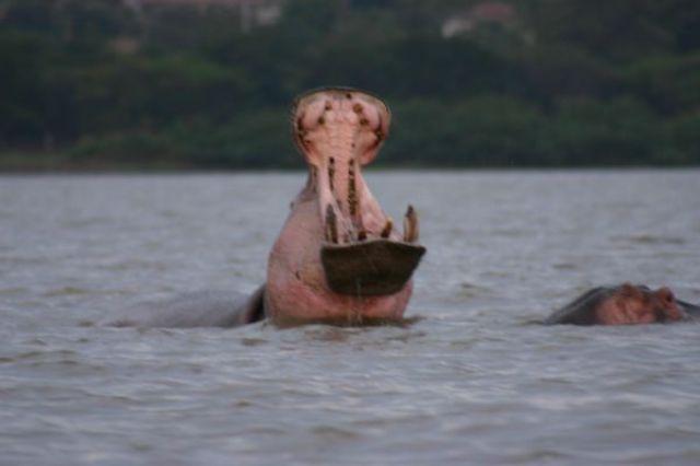Zdjęcia: Jezioro Wictoria, Jezioro Wictoria, Zeźlony hipcio, KENIA