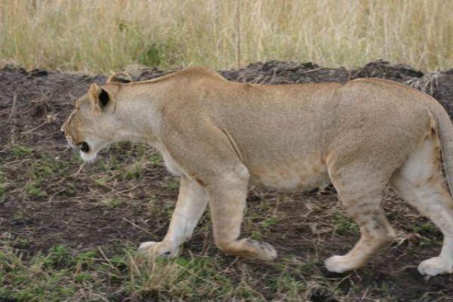Zdjęcia: Masai Mara, Masai Mara, Polowanie na gnu, KENIA
