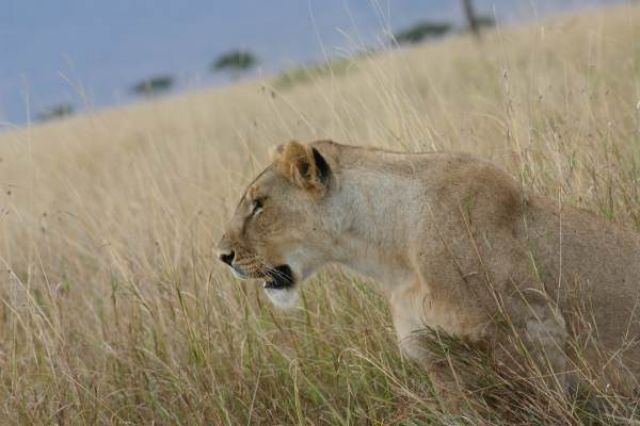 Zdj�cia: Masai Mara, Masai Mara, dostojna kr�lowa, KENIA