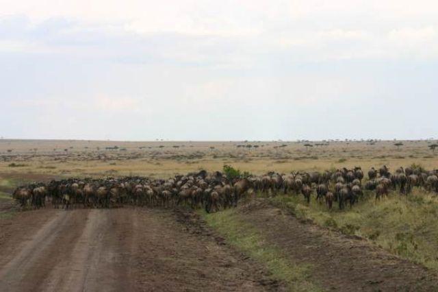 Zdjęcia: Masai Mara, Masai Mara, Rzeka gnu, KENIA