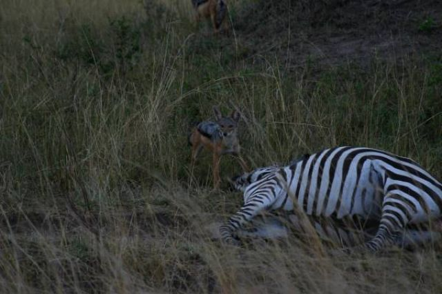 Zdjęcia: Masai Mara, Masai Mara, Szakal, KENIA
