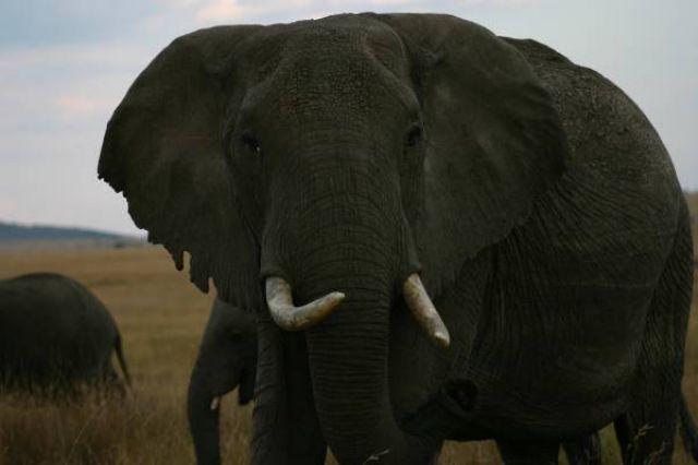 Zdjęcia: Masai Mara, Masai Mara, Frontalny atak słonicy, KENIA