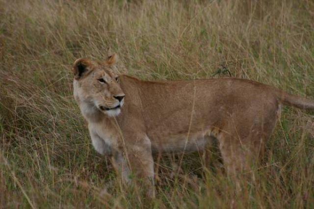 Zdj�cia: Masai Mara, Masai Mara, Lwica, KENIA