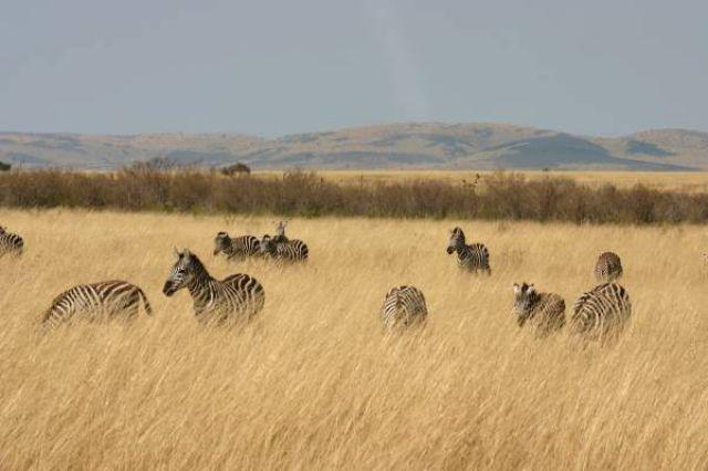 Zdjęcia: Masai Mara, Masai Mara, zeberki, KENIA