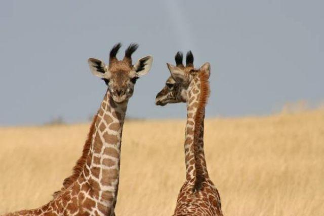 Zdjęcia: Masai Mara, Masai Mara, Słodkie tygodniowe żyrafiątka, KENIA